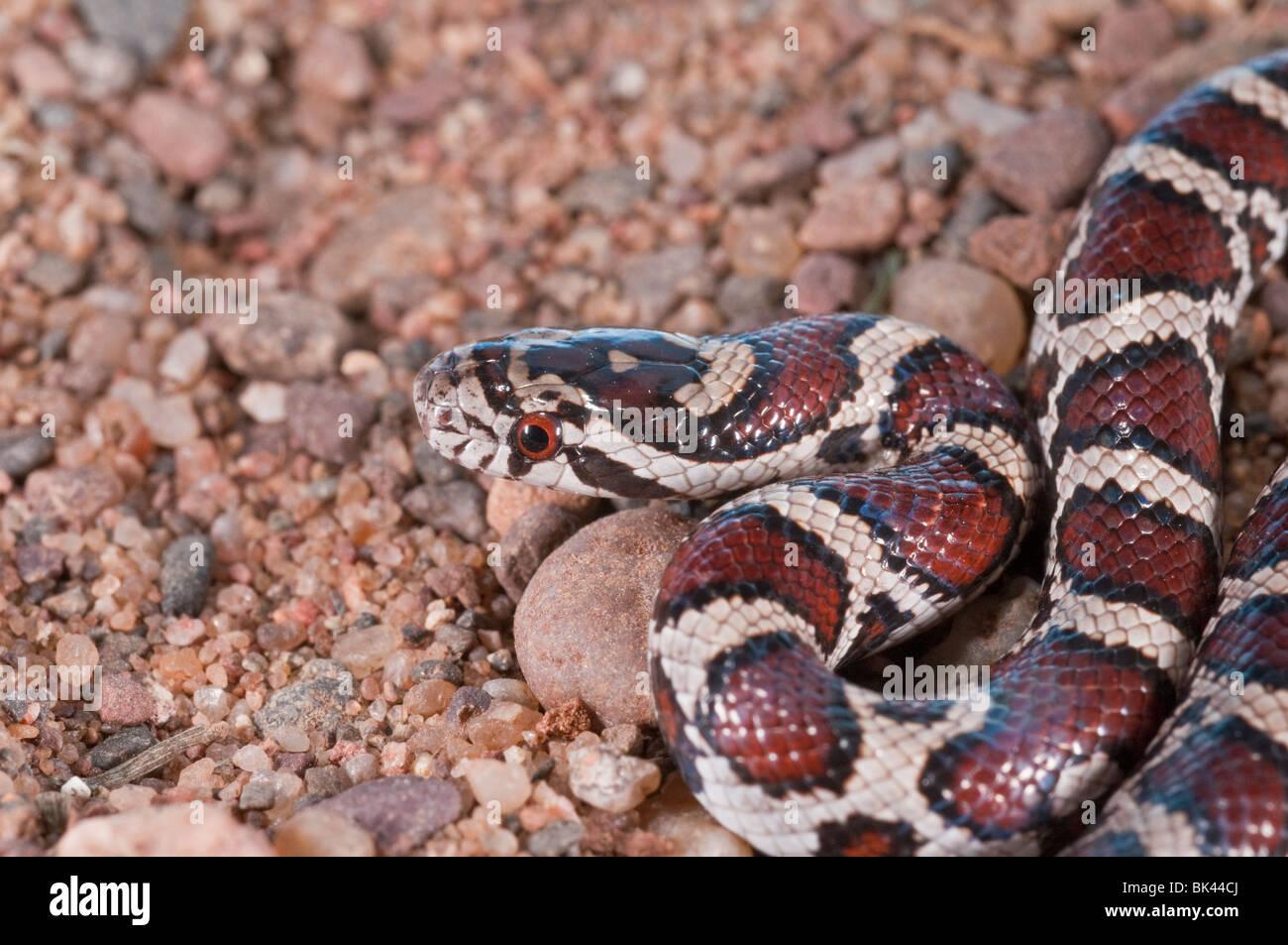 Eastern milk snake, Lampropeltis triangulum triangulum ...
