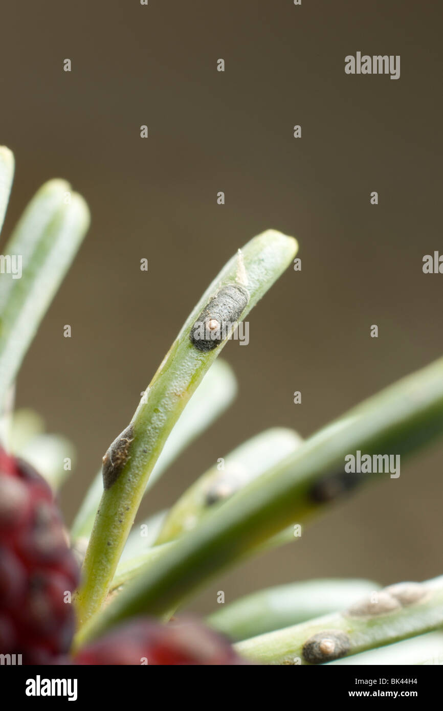close up of scale insect infesting fir needle Hemiptera parasite parasitic pest plant conifer entomology closeup - Stock Image