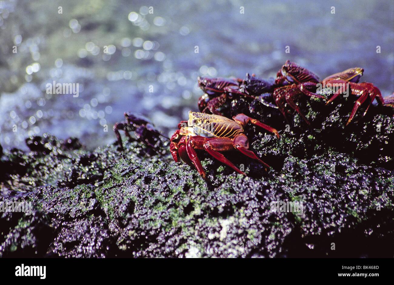 Sally Lightfoot Crabs, Galapagos Islands, Ecuador - Stock Image