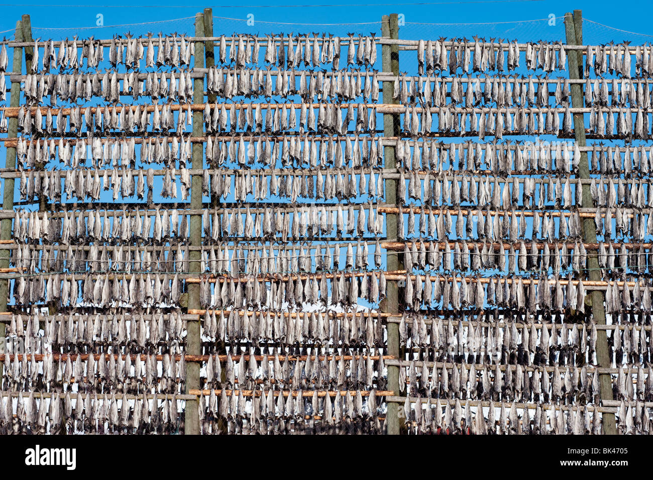 Drying cod to produce traditional stockfish on outdoor A frame racks in Svolvaer in Lofoten Islands in Norway - Stock Image