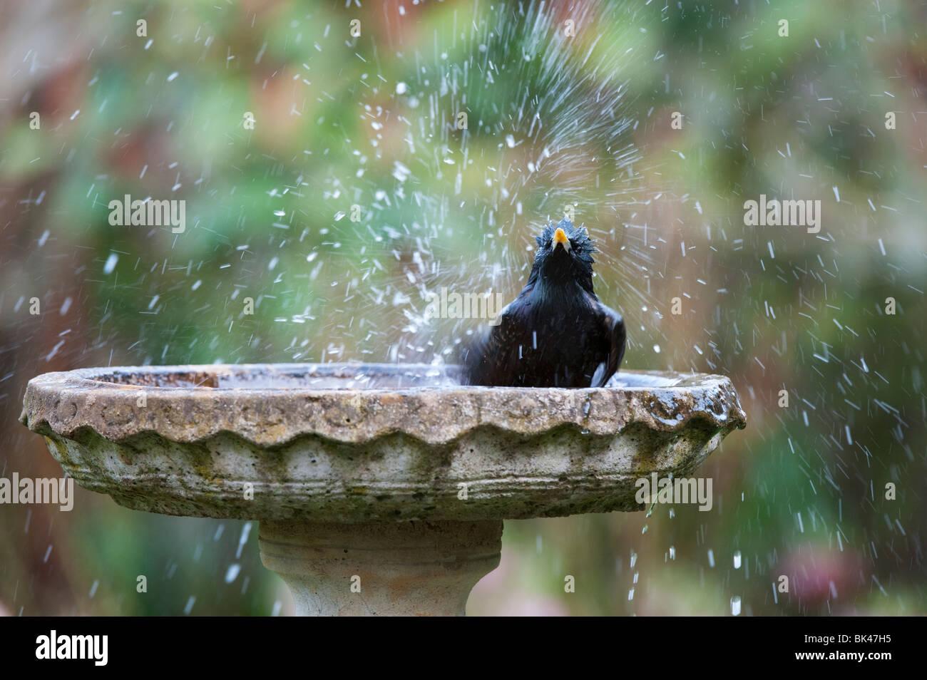 Sturnus vulgaris. Starling washing in a stone birdbath in the garden. UK - Stock Image