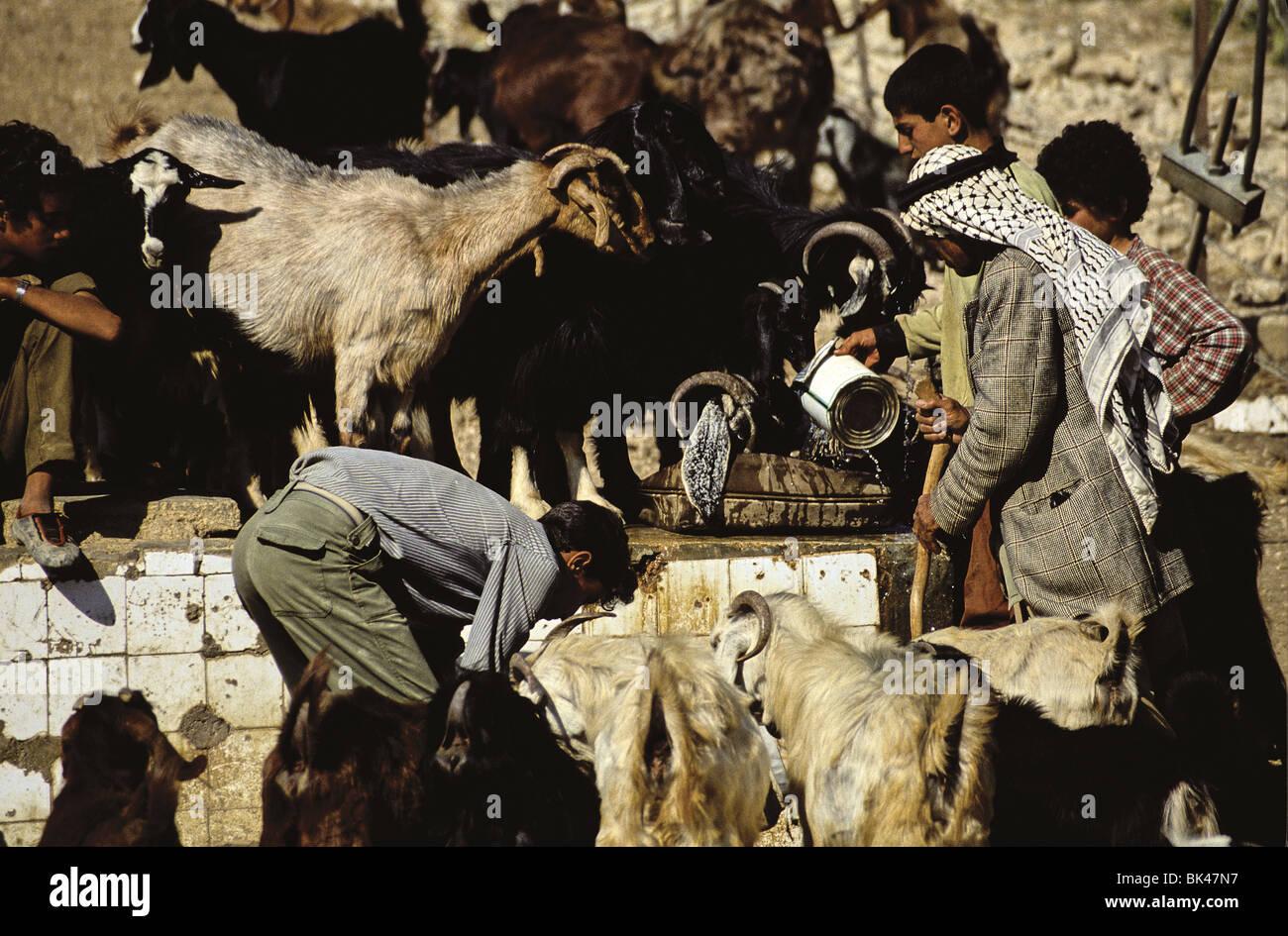 Herd of goats drinking water, Jordan - Stock Image