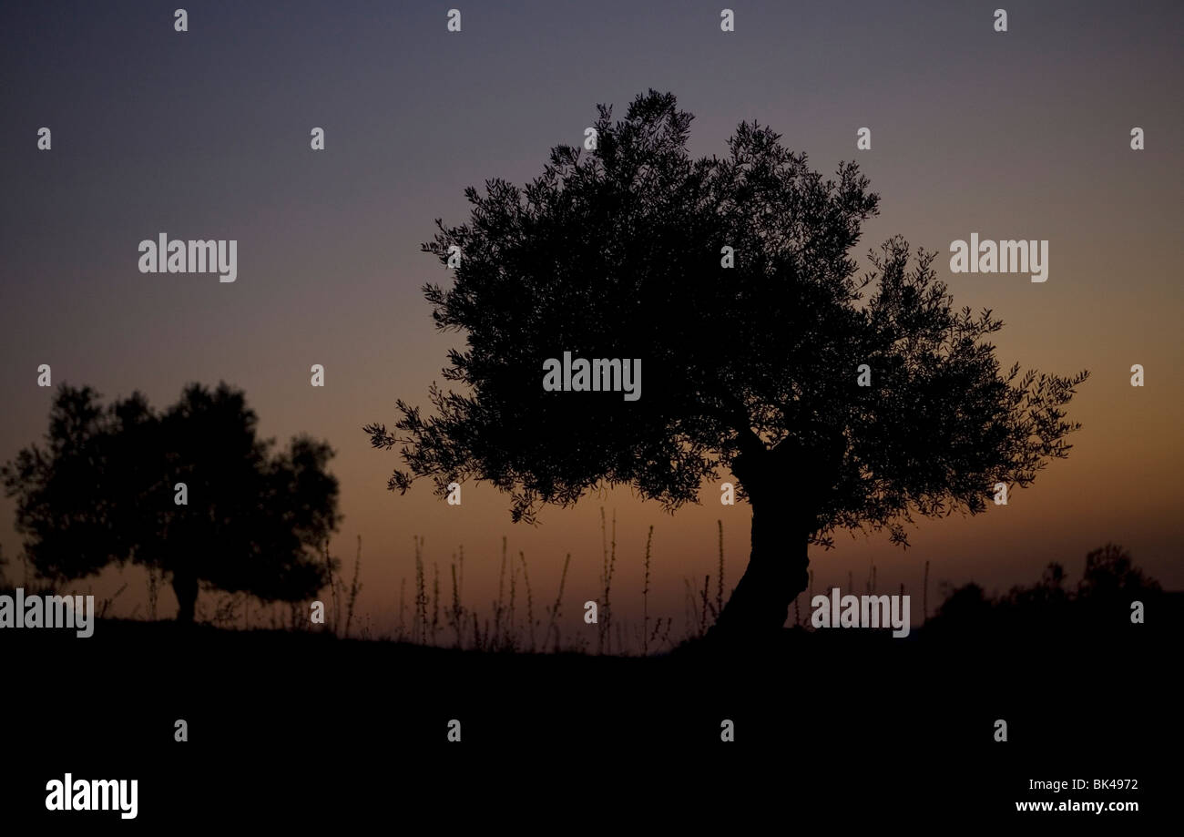 The sun sets behind olive trees in Villamartin, Cadiz Province, Spain, March 24, 2008. Photo/Chico Sanchez Stock Photo