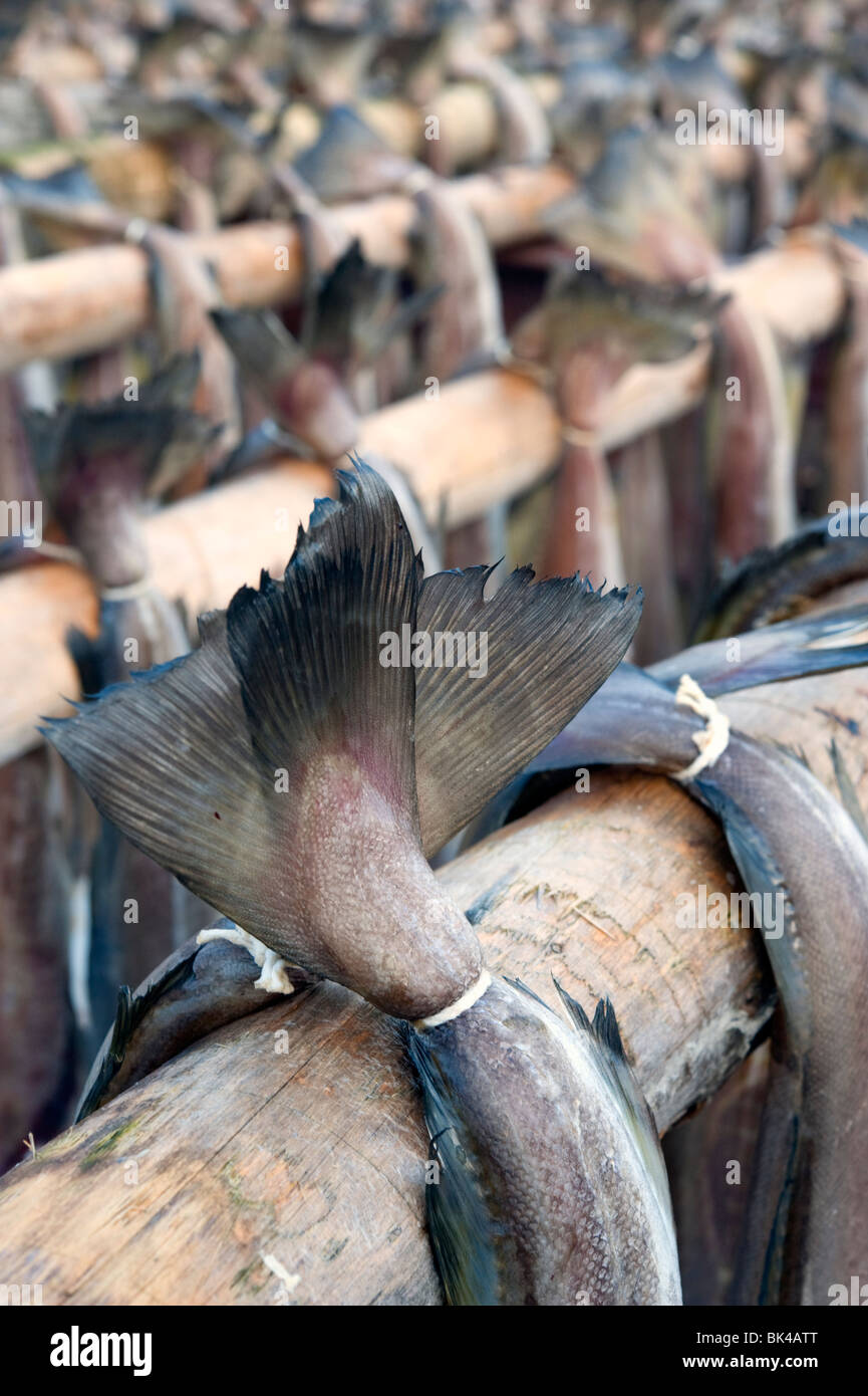 Drying cod to produce traditional stockfish on outdoor racks in Lofoten Islands in Norway - Stock Image