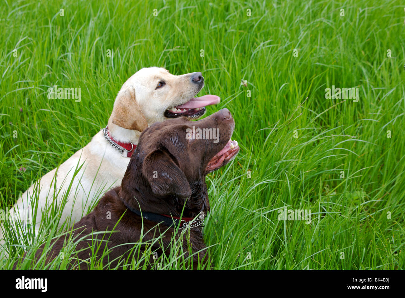 labrador dogs looking expectantly at owner for reward after exercising in field - Stock Image