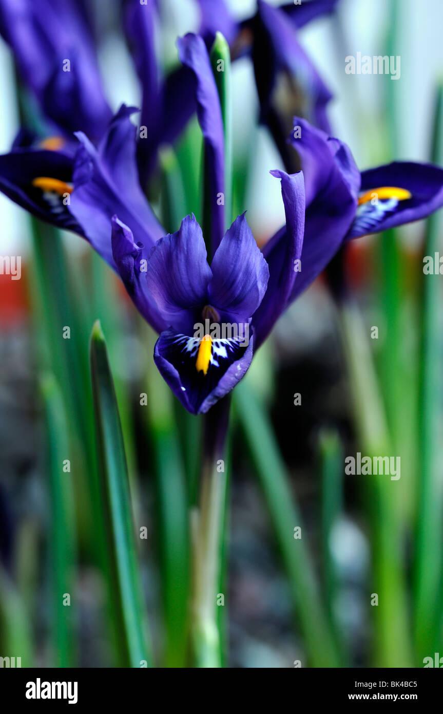 Iris Reticulata Bulb Stock Photos Iris Reticulata Bulb Stock