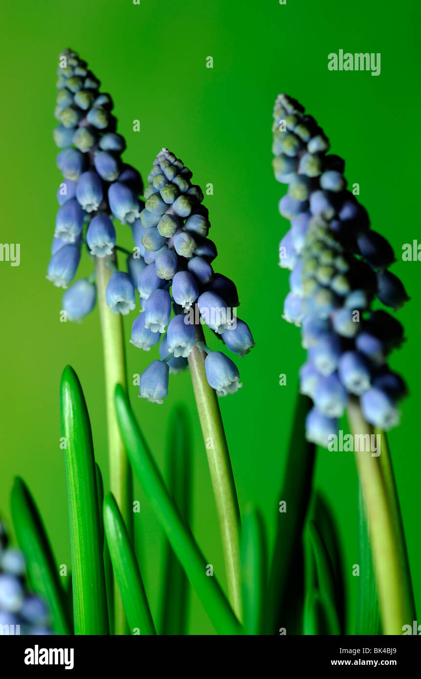 Muscari Armeniacum Grape Hyacinth Blue Flowers Spring Perennial Bulb