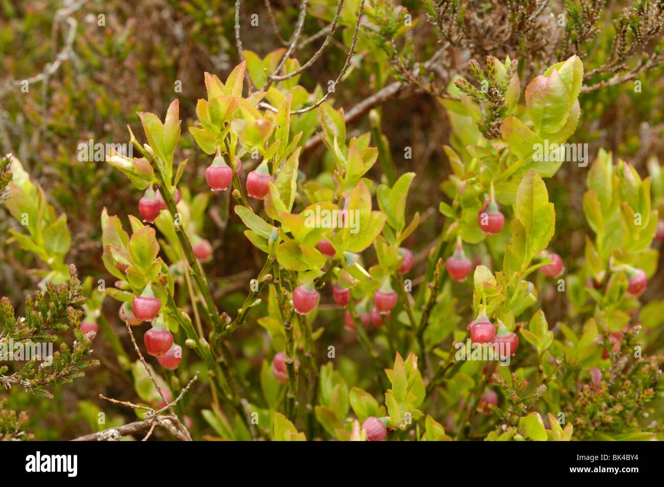 Bilberry - Stock Image