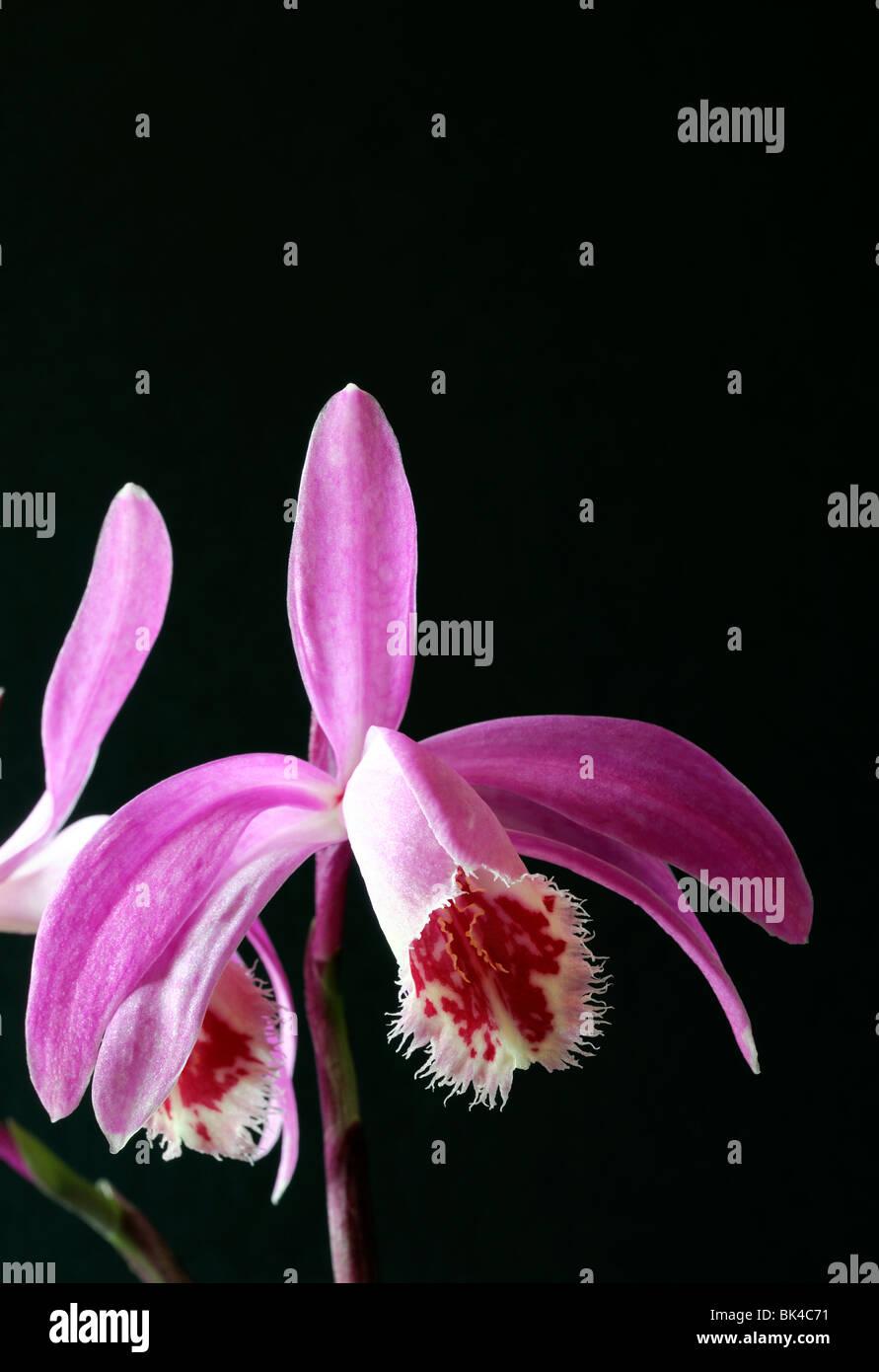 Dark Purple Black Orchid Flower Stock Photos Dark Purple Black
