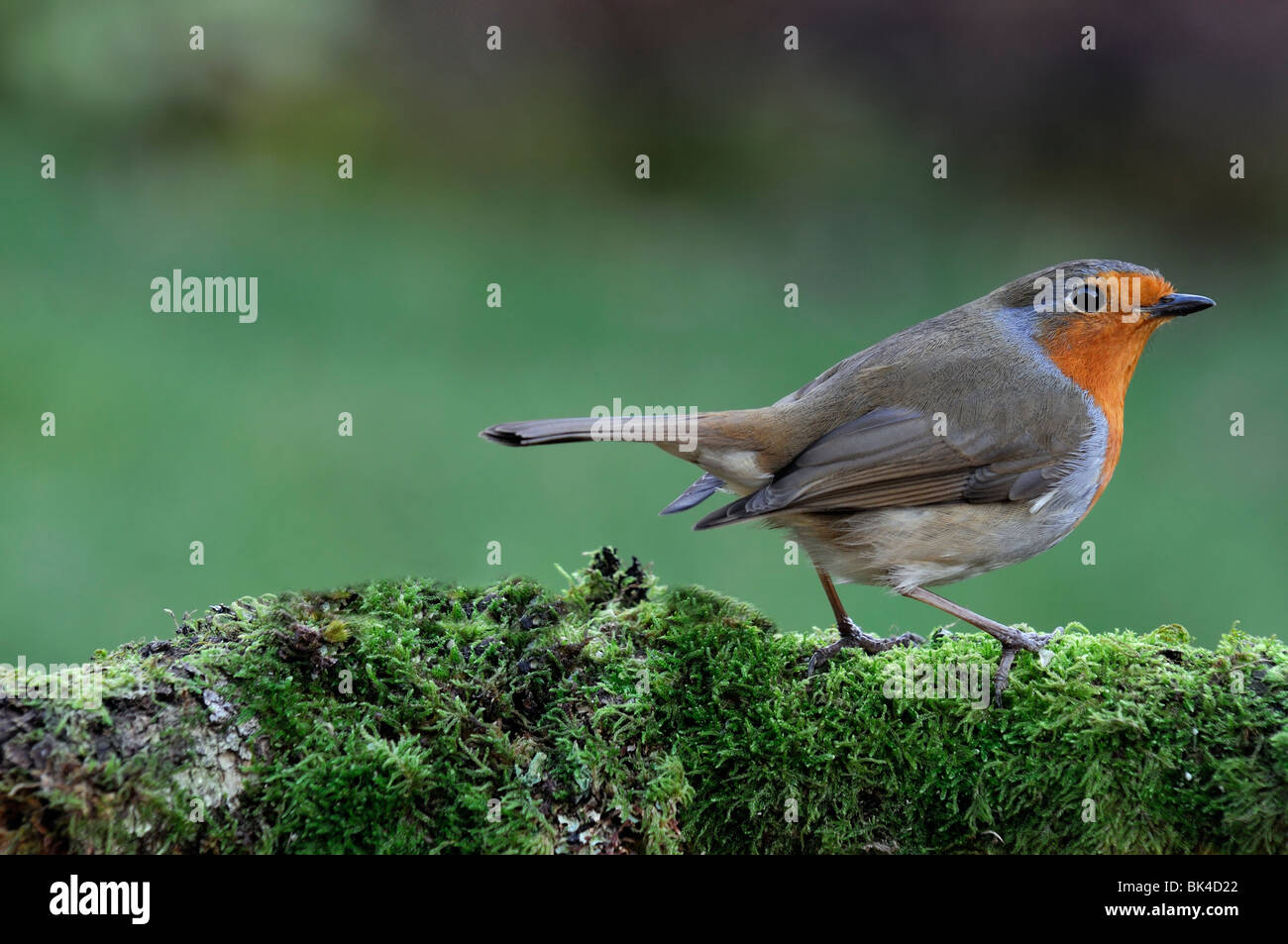 Erithacus Rubecula robin redbreast bird standing perched perch looking moss lichen cover covered branch garden cautious - Stock Image