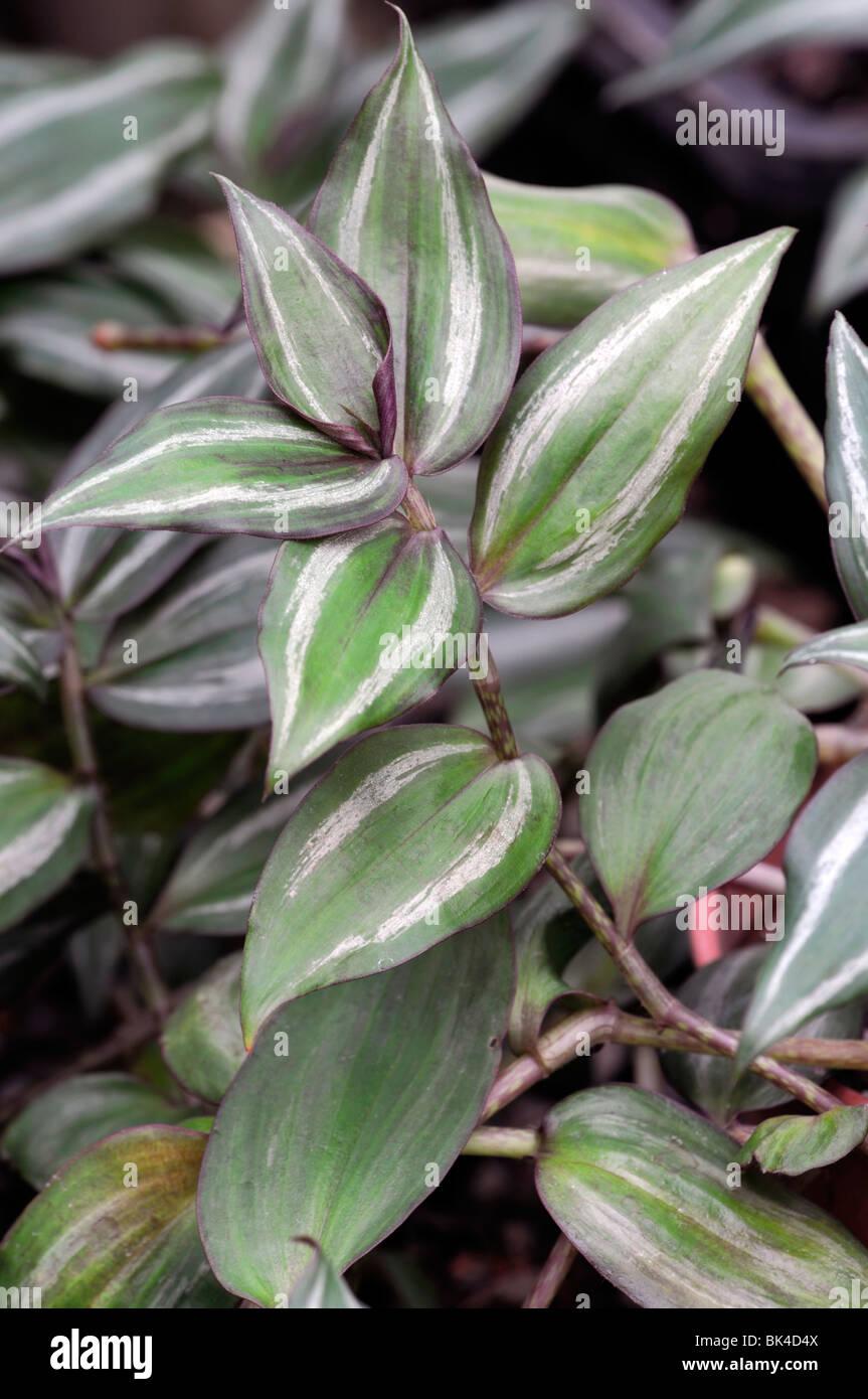 Tradescantia zebrina 'Purpusii' wandering jew COMMELINACEAE Spiderwort family spider lily - Stock Image