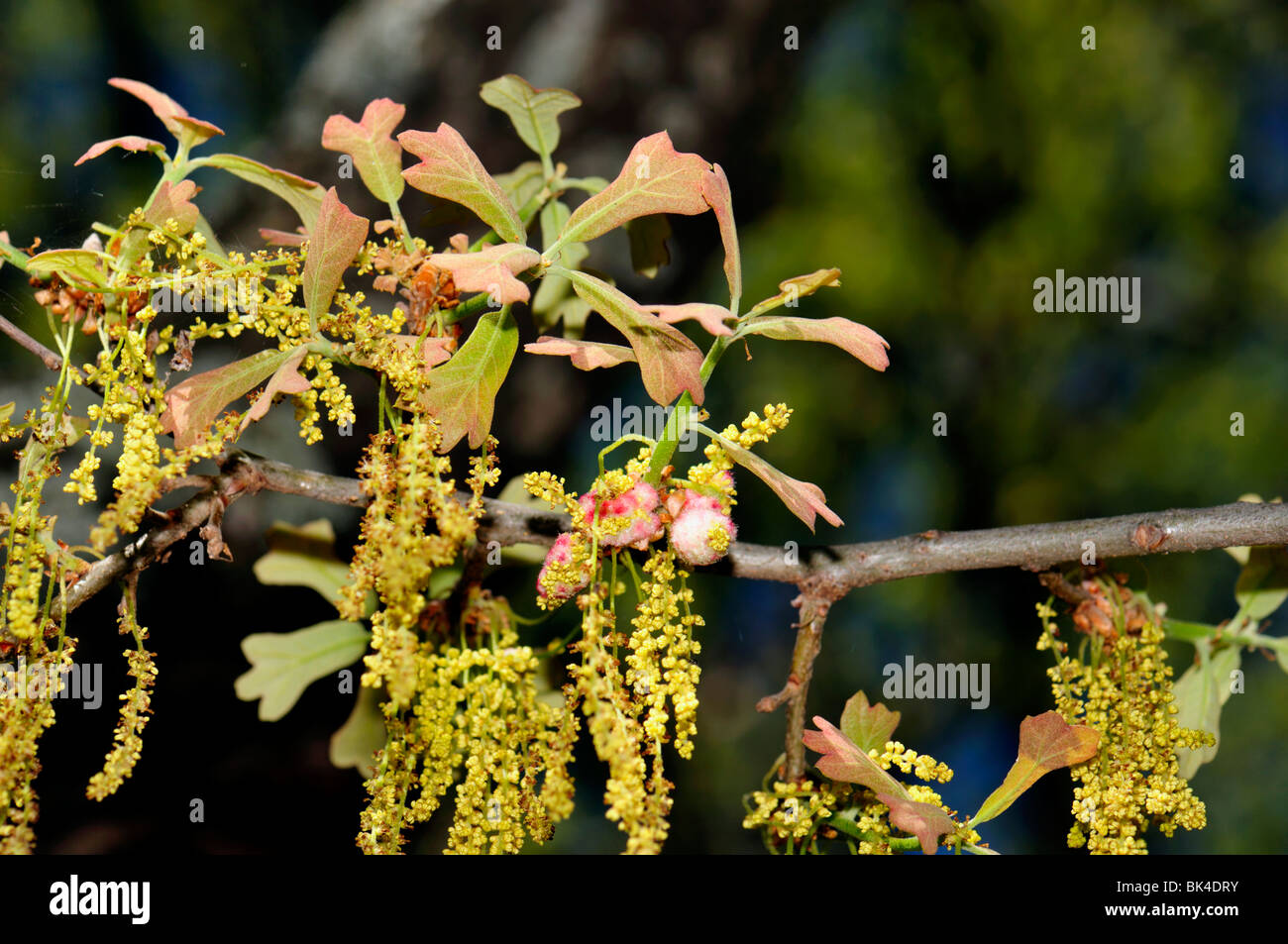 Newly emerged spring Blackjack Oak leaves and catkin. Closeup. Oklahoma, USA. - Stock Image