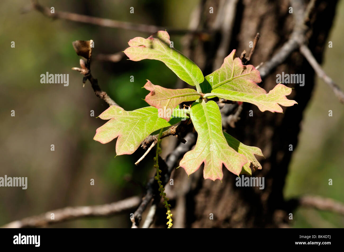 Newly emerged spring Blackjack Oak leaves. Closeup. Oklahoma, USA. - Stock Image