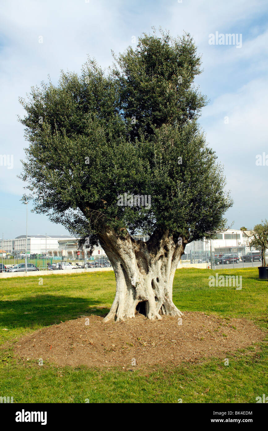An secular Olive tree - Stock Image