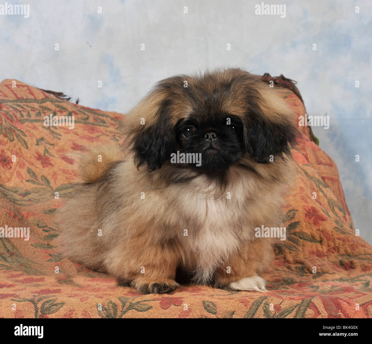 Pekinese Stock Photos & Pekinese Stock Images - Alamy