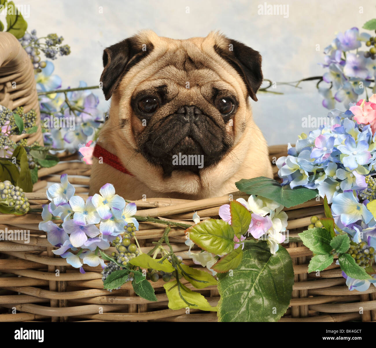 fawn pug in summer basket, UK - Stock Image