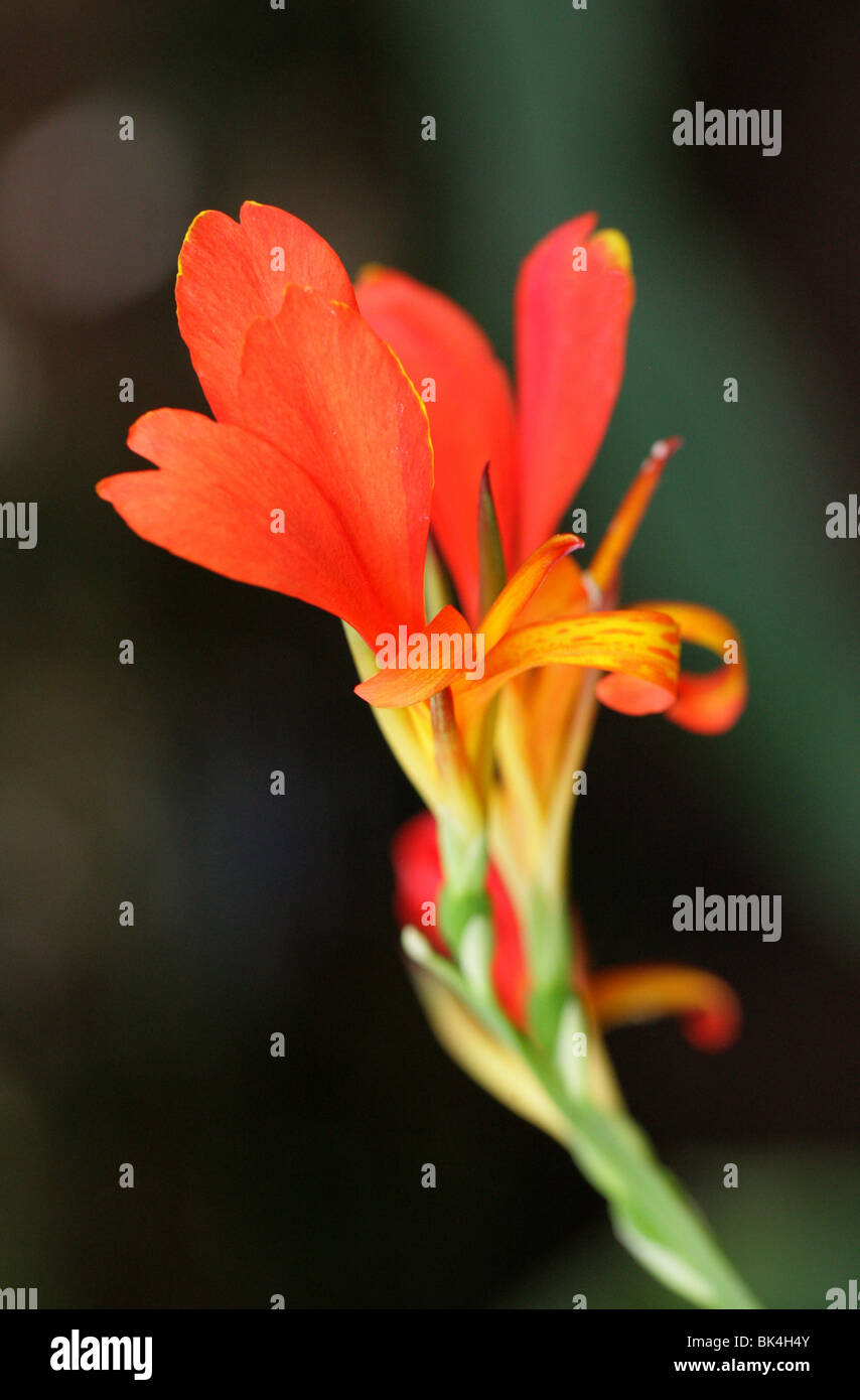 Limbata Stock Photos Images Alamy Vanda Canna Lily Cannaceae Image