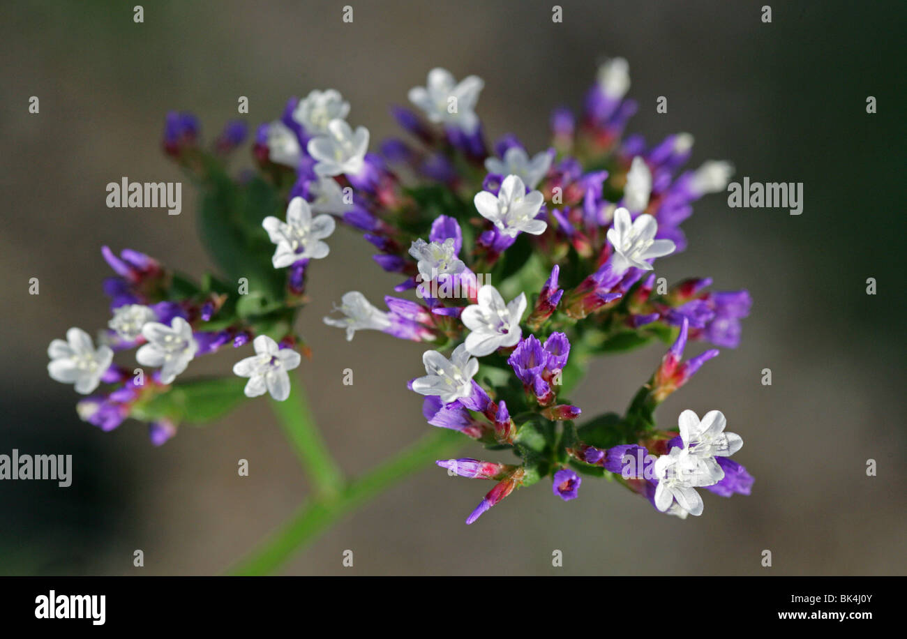 Statice, Sea Lavender or Statice Lavender, Limonium spectabile, Plumbaginaceae, Canary Islands, Spain, Africa - Stock Image