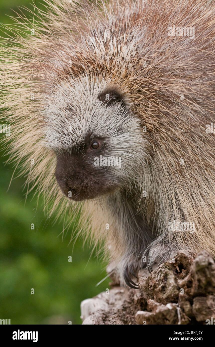 Adult male North American porcupine, Erethizon dorsatum, Minnesota, USA Stock Photo