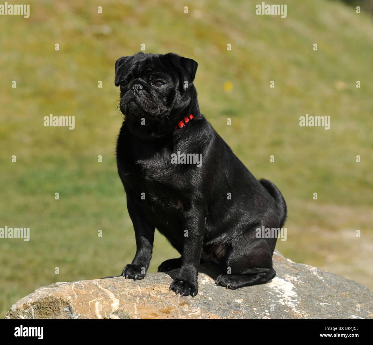 black pug, sitting, summertime, UK - Stock Image
