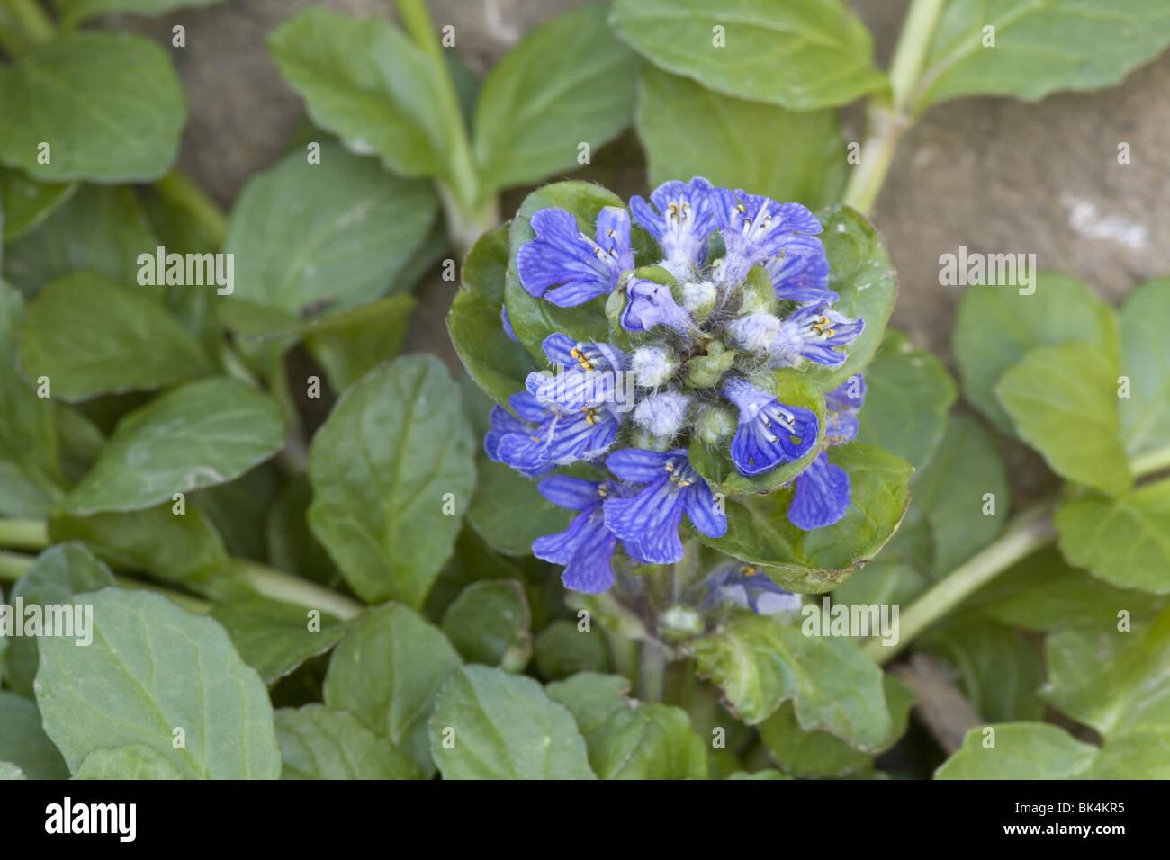 Bugleweed (Ajuga reptans) - Stock Image