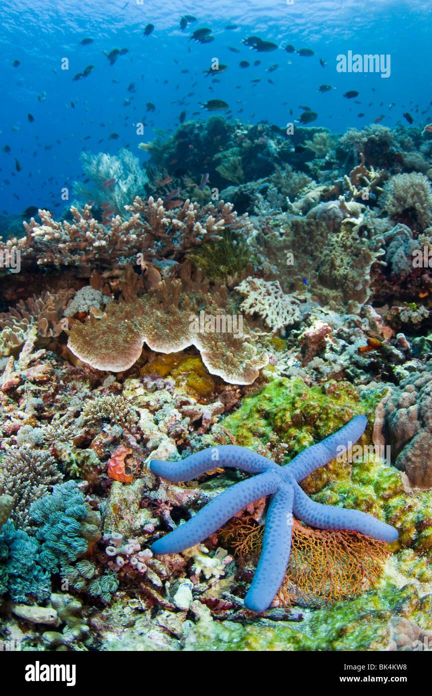 Blue Sea Star, Linckia laevigata, on coral reef, Tatawa Kecil, Komodo National Park, Indonesia - Stock Image