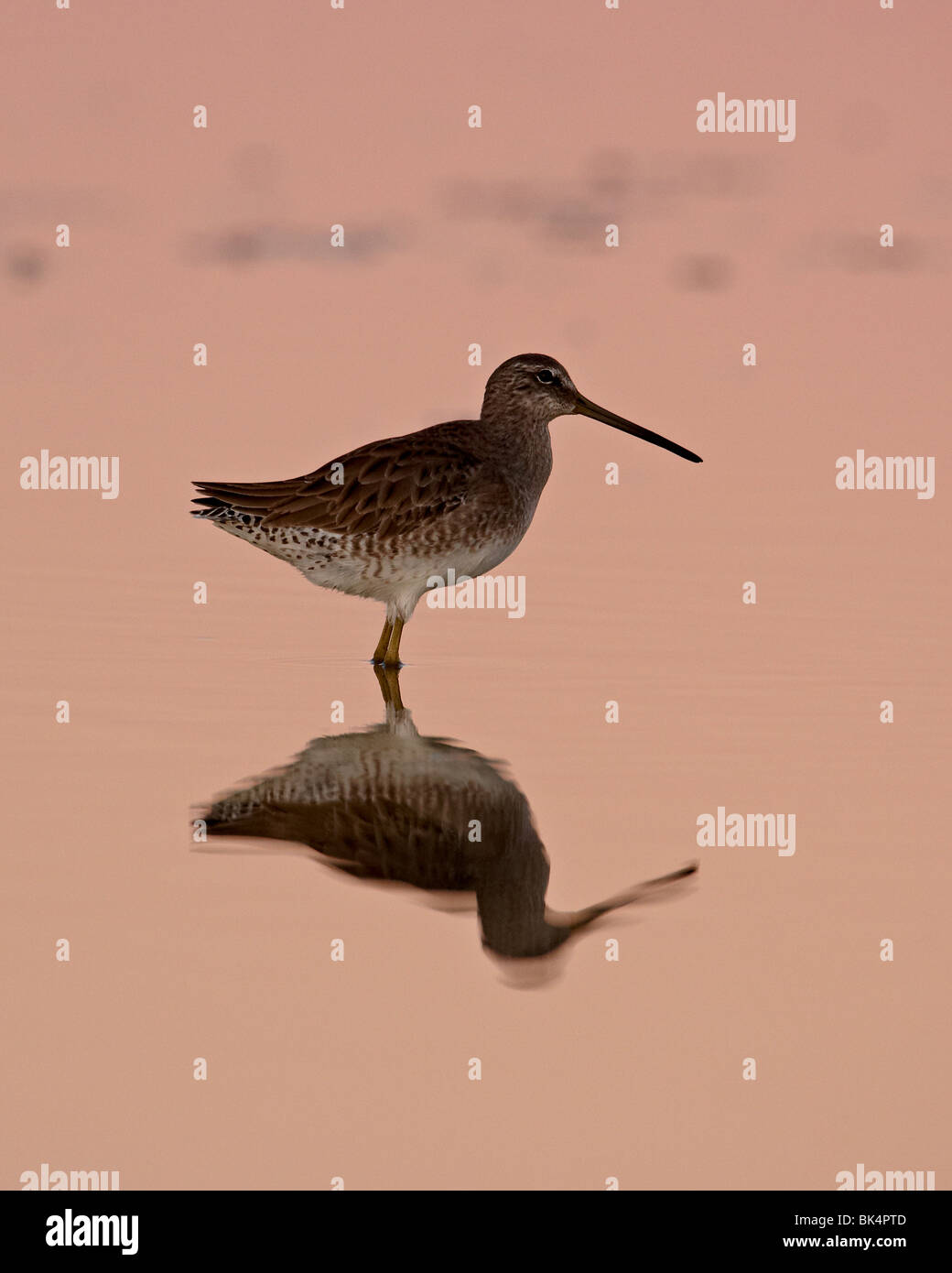 Short-Billed Dowitcher, Sonny Bono Salton Sea National Wildlife Refuge, California, USA - Stock Image