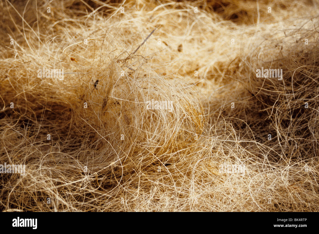 Detail of coco fiber called 'coir' is used for making rope - Stock Image