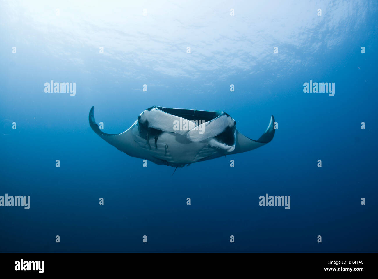 Manta ray, Mergui Archipelago, Burma, Andaman Sea, Indian Ocean Stock Photo