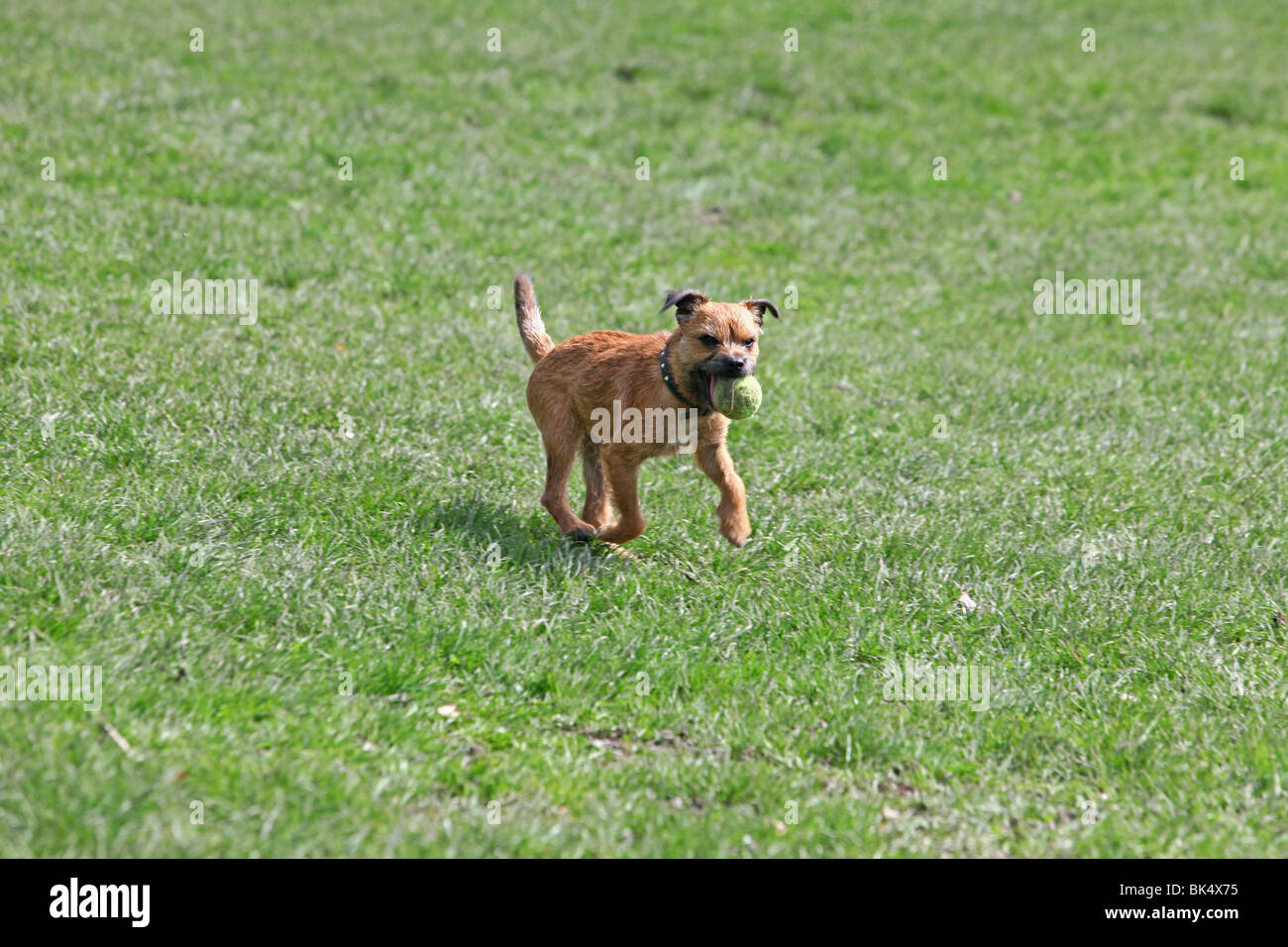 Border Terrier Running With His Tennis Ball In The Park Streatham