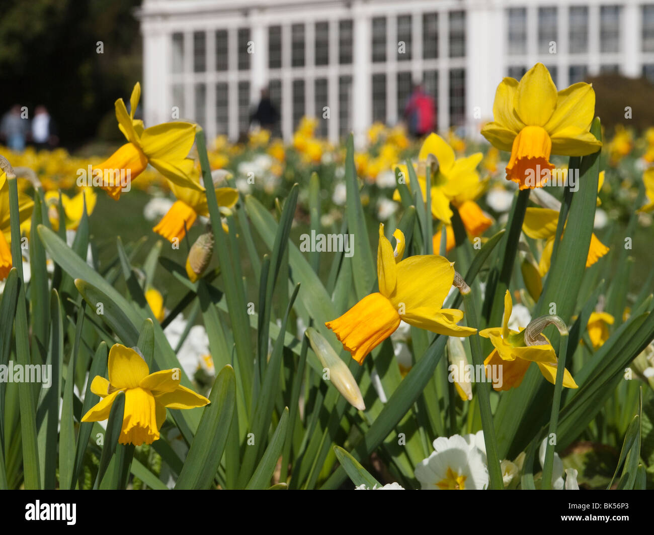 Spring Flowers And Daffodils In The Formal Gardens At Wollaton Hall