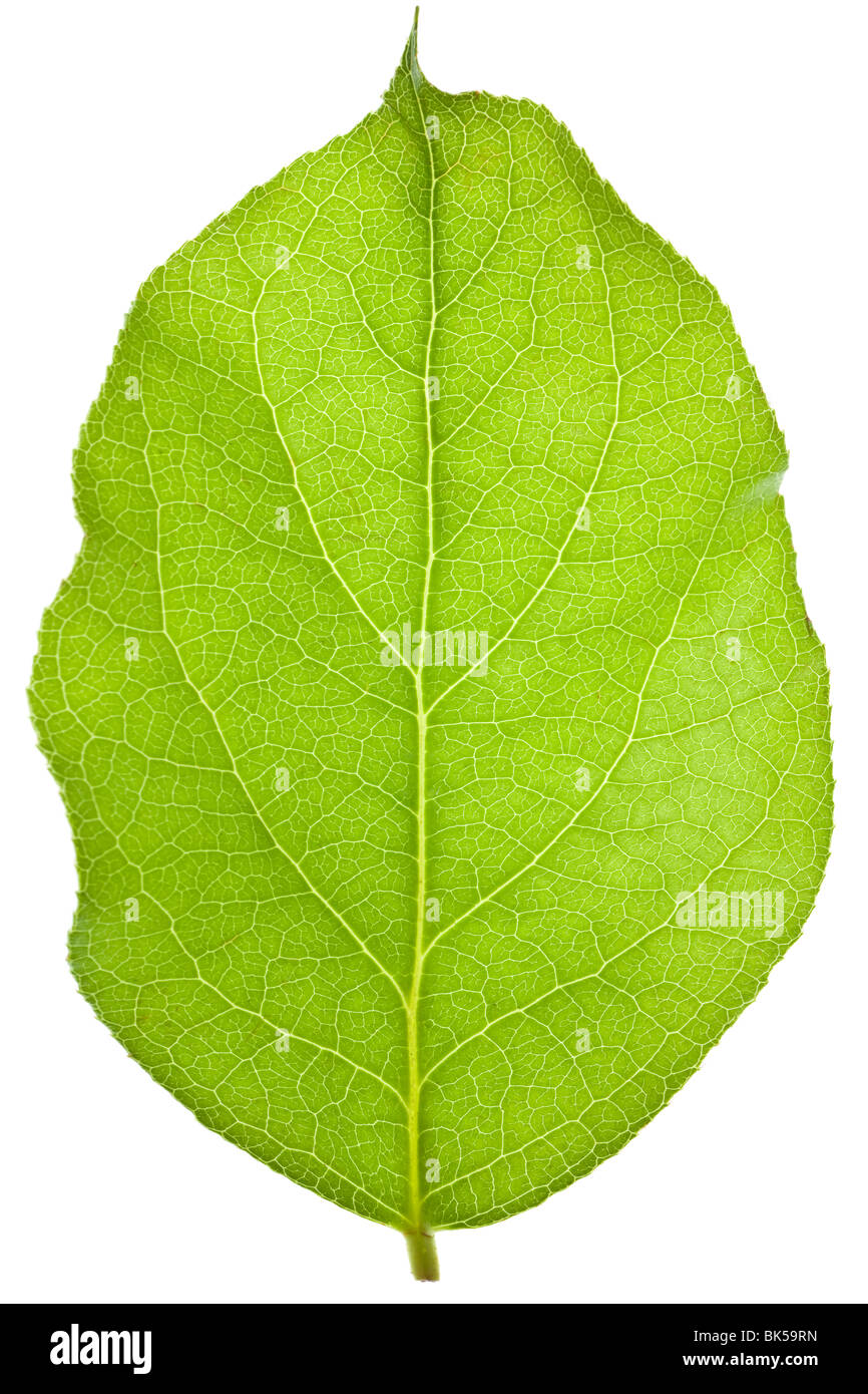 green leaf isolated on a white background - Stock Image