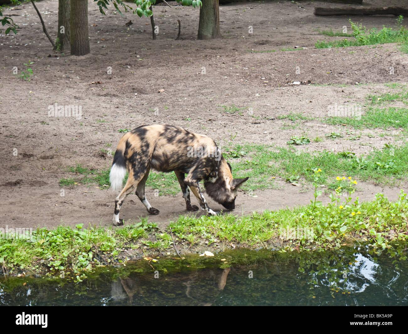 African Wild Dod at the Zoologischer Garten Berlin - Berlin Zoo, Tiergarten, Berlin, Germany - Stock Image