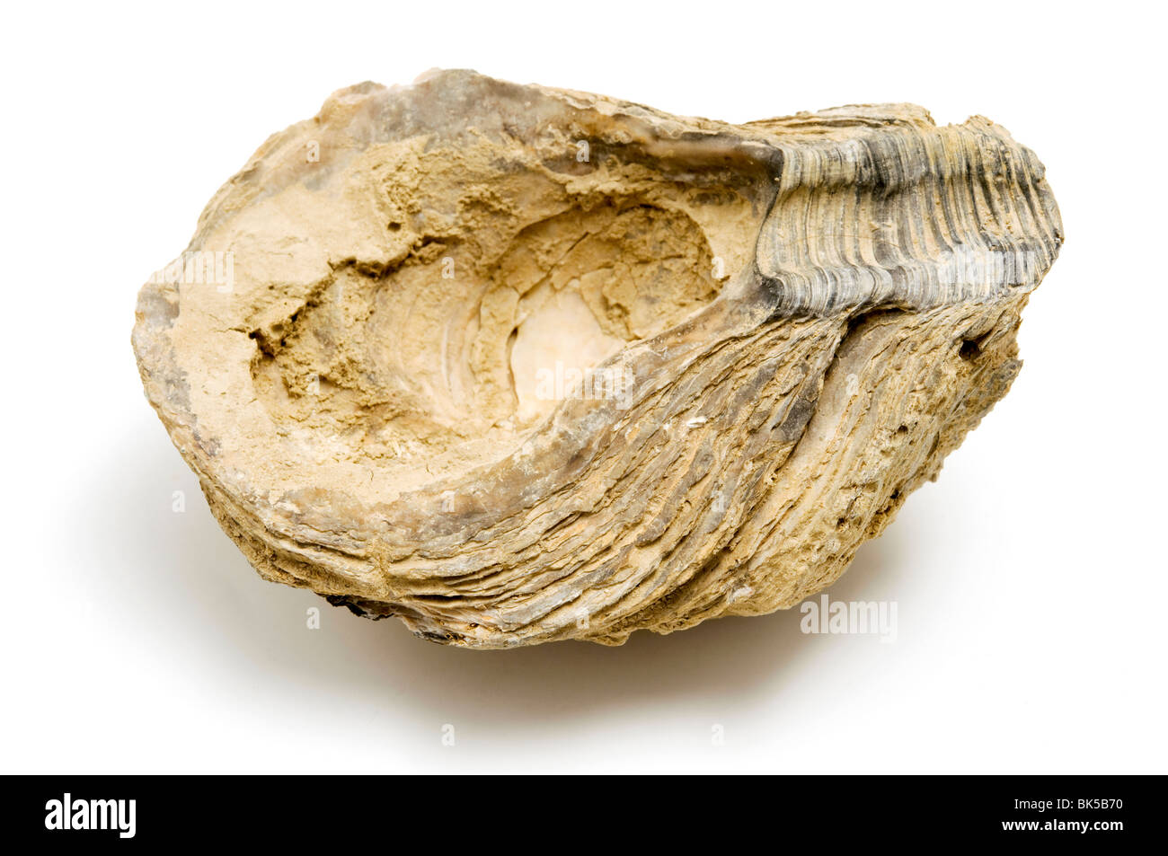 Fossil shell found in Montecchio, Italy - Stock Image