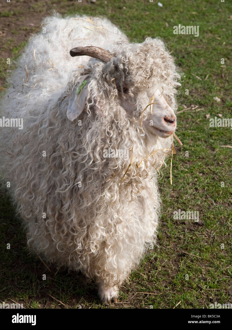 Long Haired Sheep Stock Photos & Long Haired Sheep Stock
