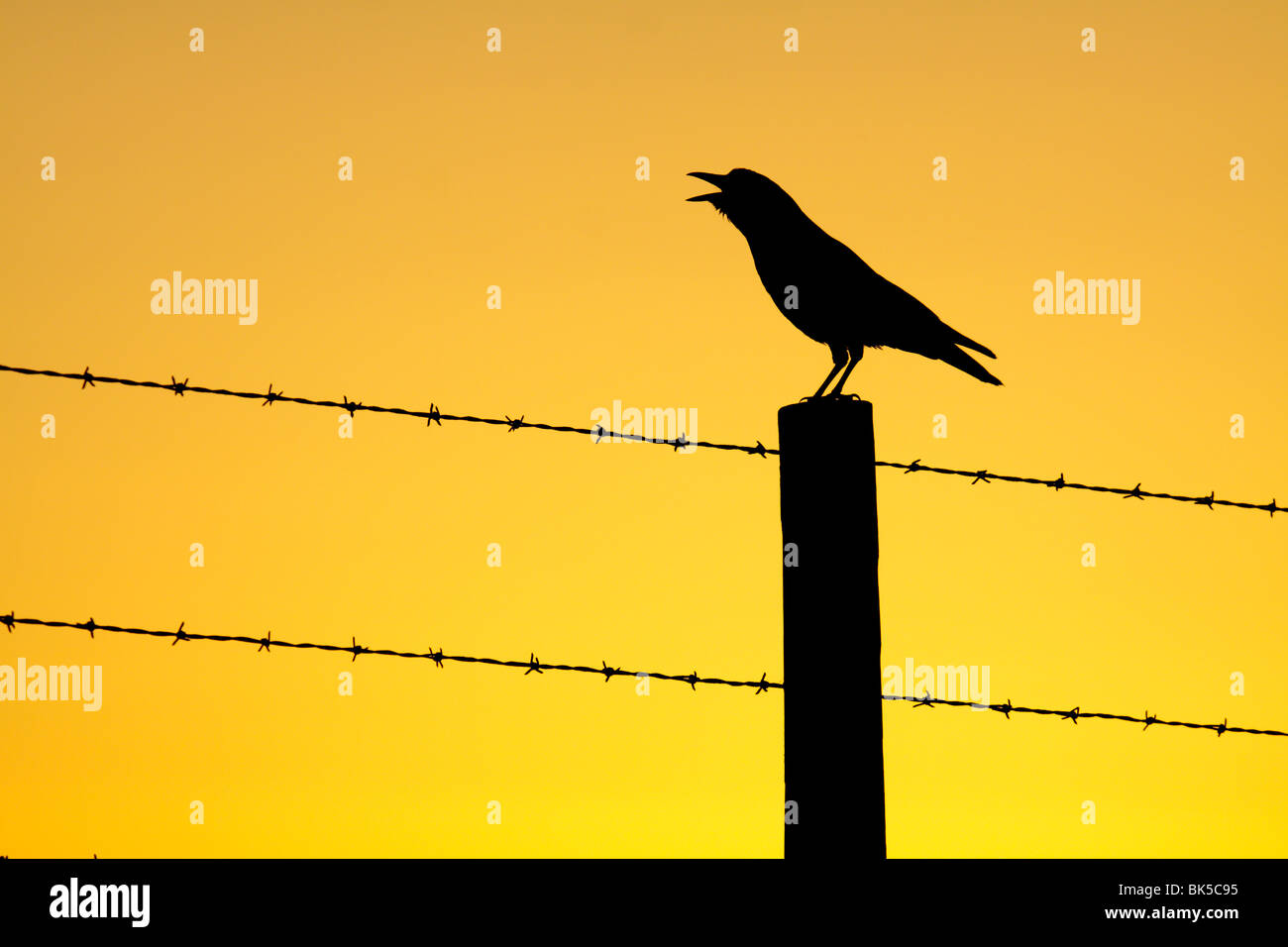 American crow calling from fencepost at sunrise-Piedras Blancas, California, USA. - Stock Image