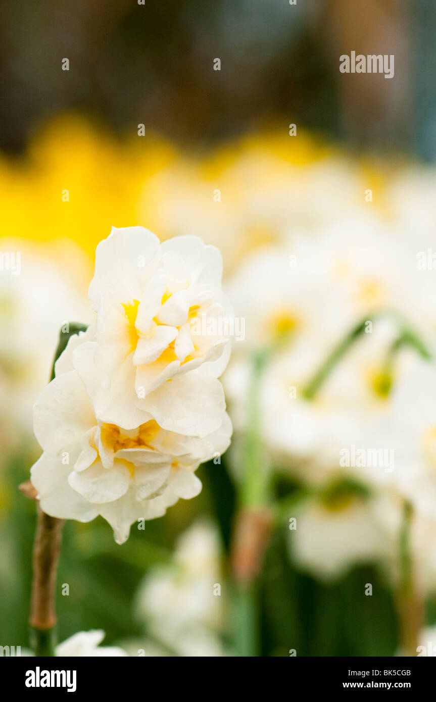 Daffodil 'Cheerfulness' at The Eden Project in Cornwall - Stock Image