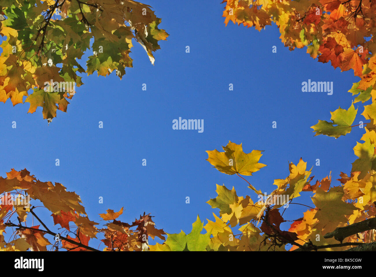 Looking upwards at brightly coloured Autumn leaves against a blue sky. - Stock Image