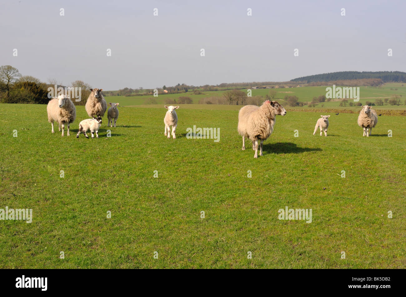 Ewes & Lambs in field in spring with Beacon Fell in the distance - Stock Image