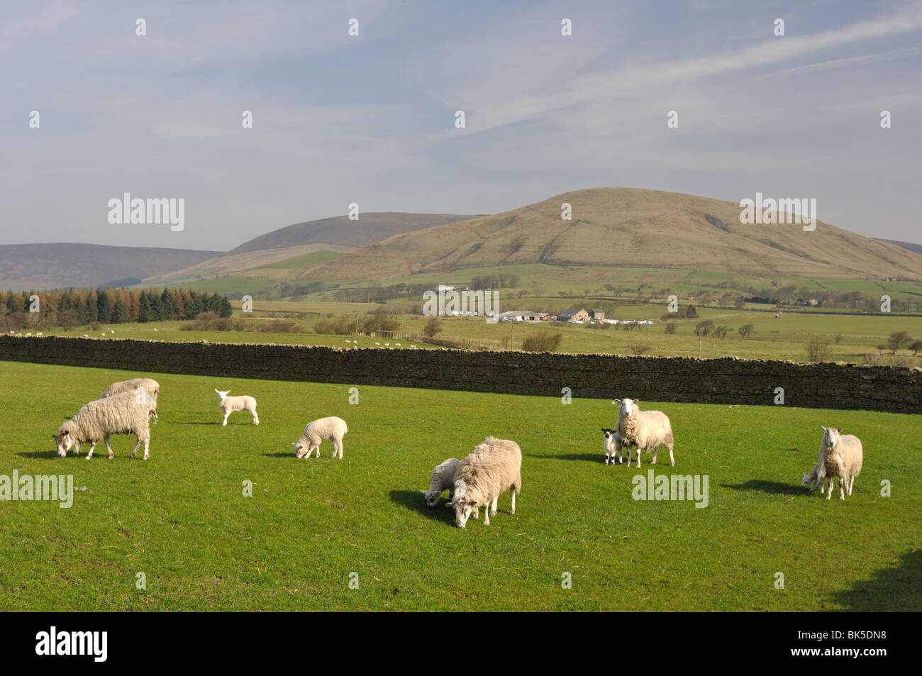 Sheep and lambs in paddock with Parlick Pike in the distance in spring - Stock Image