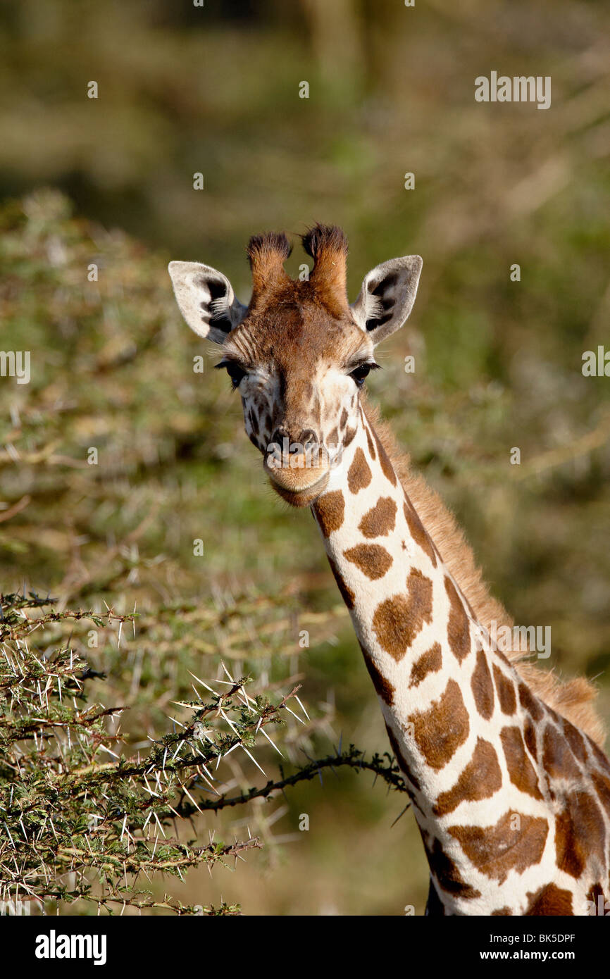 Young Rothschild's giraffe (Giraffa camelopardalis rothschildi), Lake Nakuru National Park, Kenya, East Africa, - Stock Image