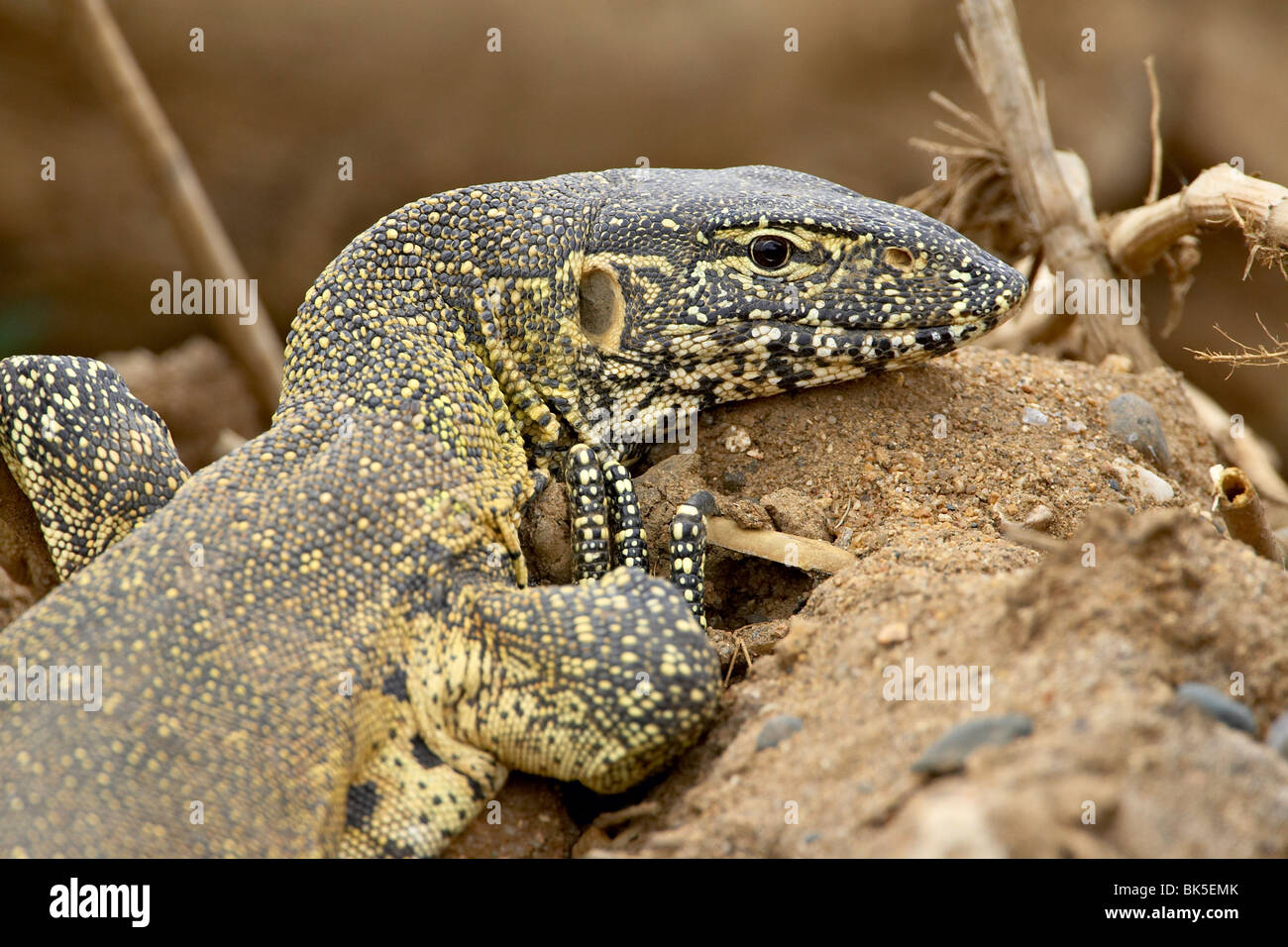 Water monitor (Varanus niloticus), Kruger National Park, South Africa, Africa Stock Photo