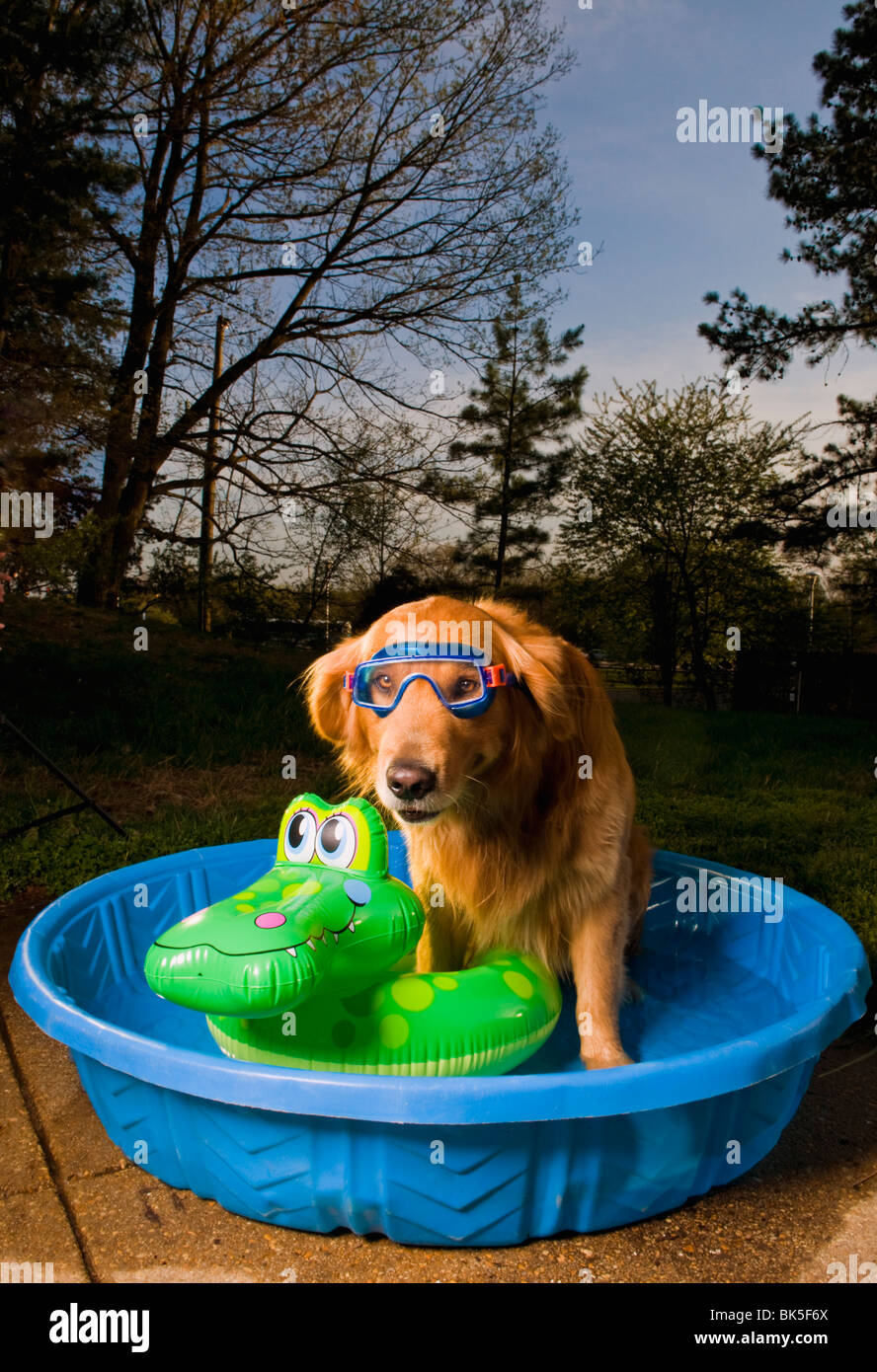 A golden retriever in a pool with a swim mask and a floating toy at sunset - Stock Image