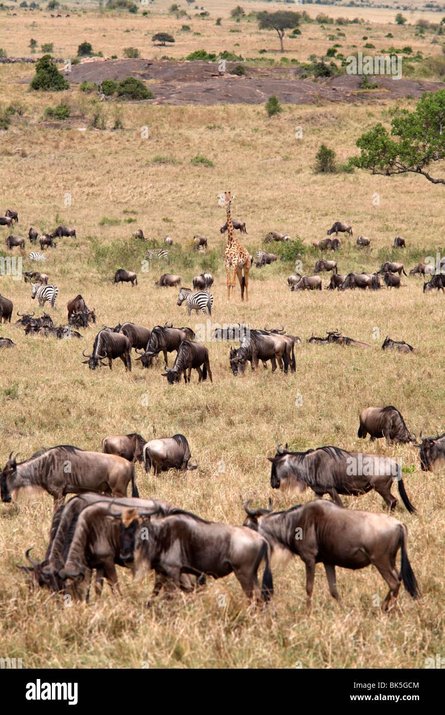 Wildlife in abundance in the Masai Mara National Reserve, Kenya, East Africa, Africa - Stock Image