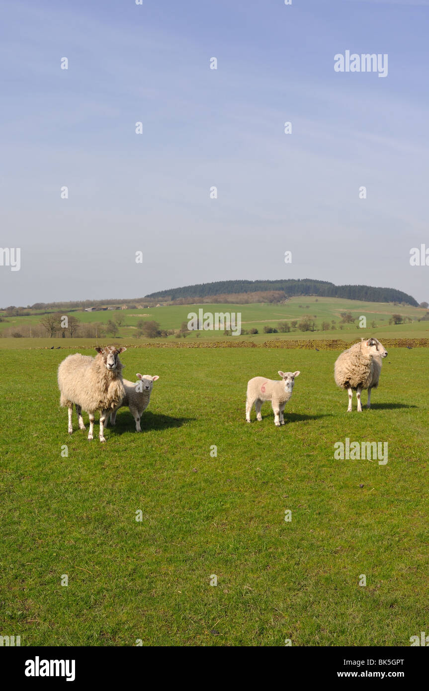 Ewes and Lambs with Beacon Fell in the distance in Spring - Stock Image