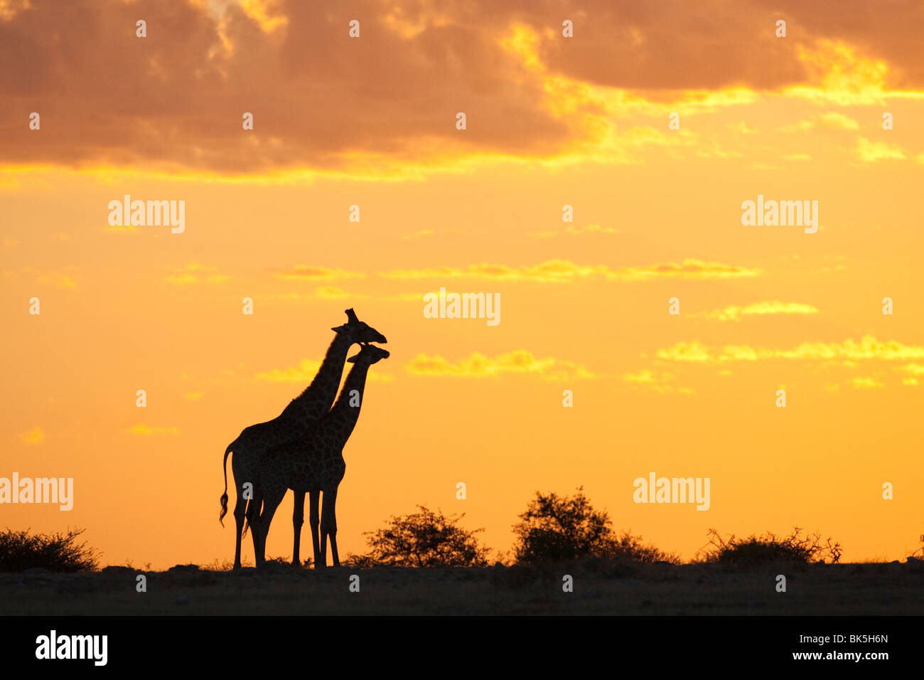 Giraffes (Giraffa camelopardalis), silhouetted at sunset, Etosha National Park, Namibia, Africa - Stock Image