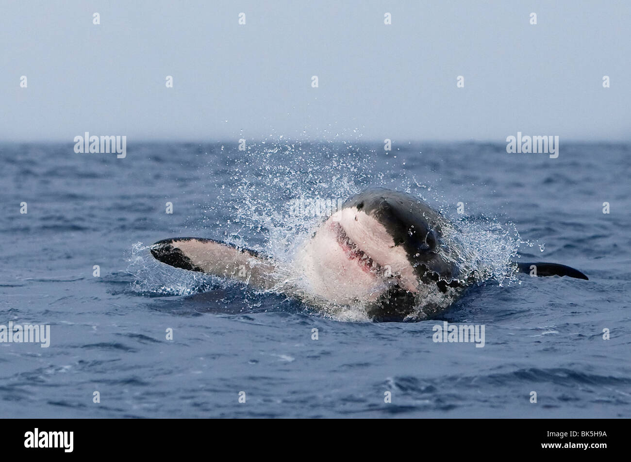 Great white shark (Carcharodon carcharias), breaching, Seal Island, False Bay, Cape Town, South Africa, Africa - Stock Image
