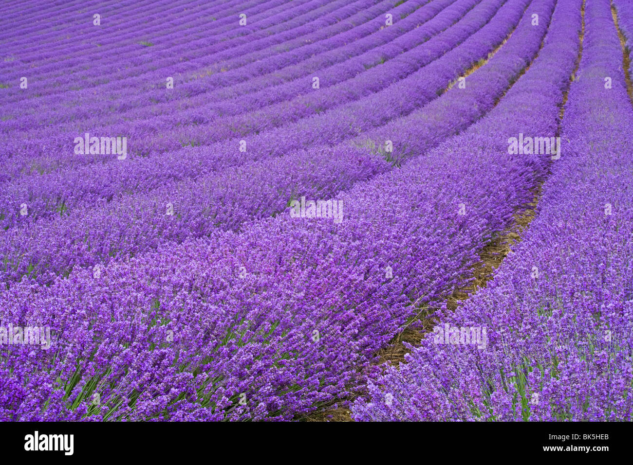 Lavender field near Chichester, West Sussex, England, United Kingdom, Europe - Stock Image