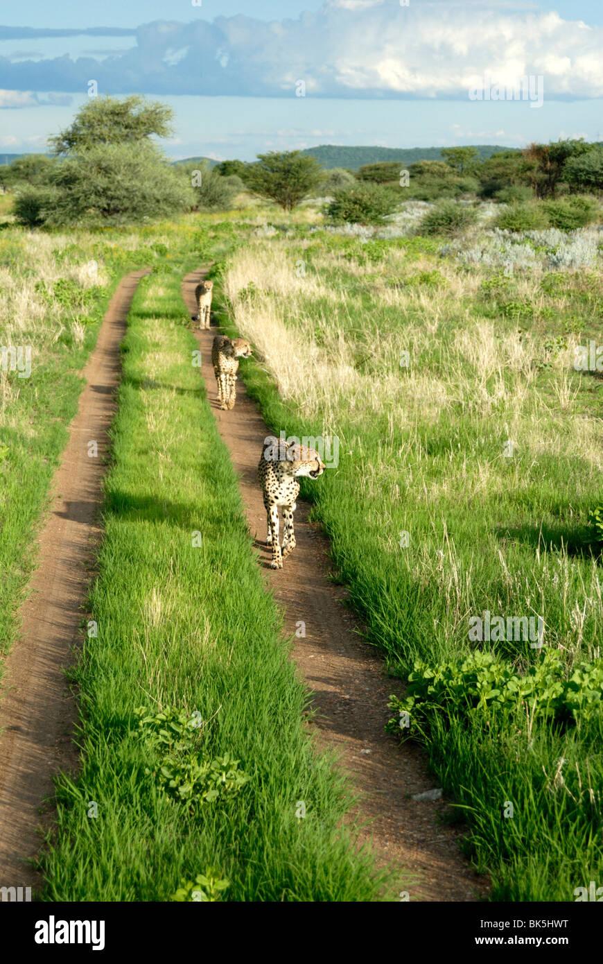 Three cheetahs along path in Etosha National Park, Namibia, Africa - Stock Image