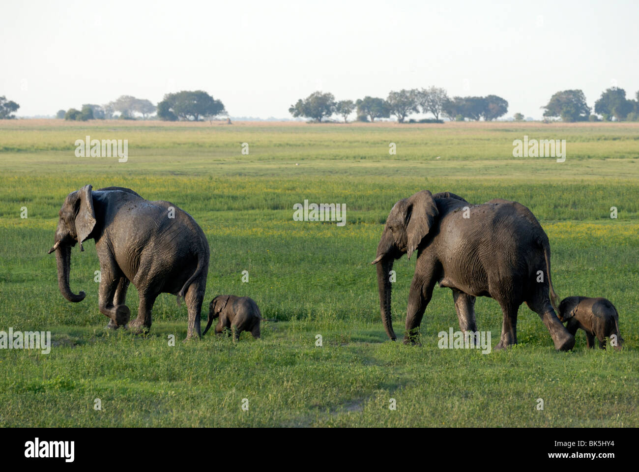 Elephants and their young, Chobe National Park, Botswana, Africa - Stock Image